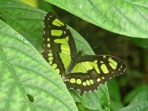 Fjäril på en lantgård i Costa Rica Fotografering för Bildbyråer