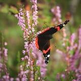 Fjäril på en ljung Royaltyfri Fotografi