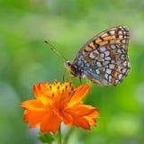 Fjäril på en orange blomma Royaltyfri Fotografi