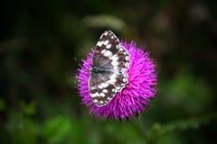 Fjäril på en purpurfärgad blomma arkivbild