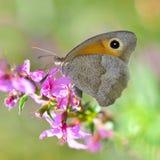 Fjäril på en purpurfärgad blomma Fotografering för Bildbyråer