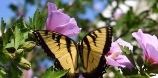 Fjäril på en ros av sharon Arkivbild