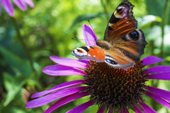 Fjäril på en rosa blomma Fotografering för Bildbyråer