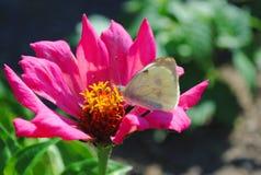 Fjäril på en rosa blomma royaltyfria bilder