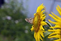 Fjäril på en solros Royaltyfri Fotografi