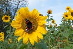 Fjäril på en solros royaltyfri foto