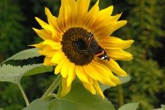 Fjäril på en solrosblomma Husträdgård Arkivbild