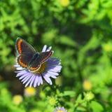 Fjäril på en tusensköna Arkivfoto