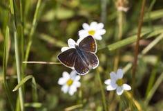 Fjäril på en tusensköna (Polyommatus icarus) fotografering för bildbyråer
