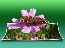 Fjäril på en violett blomma Arkivbilder