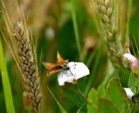 Fjäril på en vit konvolvulusarvensis, fältvinda Arkivbild