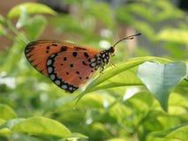 Fjäril på ett blad Arkivfoton
