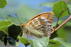 Fjäril på ett blad Arkivbild