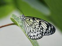 Fjäril på ett blad arkivbilder