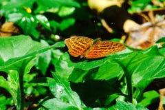 Fjäril på ett blad Arkivfoto
