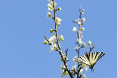 Fjäril på ett blommande träd arkivfoton