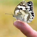 Fjäril på ett finger Royaltyfri Foto