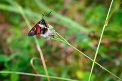 Fjäril på ett grässtrå Fotografering för Bildbyråer