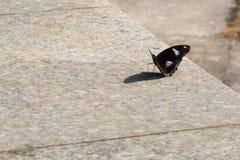 Fjäril på ett vaggamoment fotografering för bildbyråer