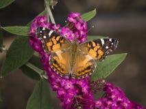 Fjäril på fjärilen Bush arkivbild