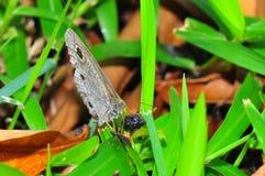 Fjäril på gräs Arkivfoto