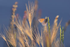 Fjäril på gräs Royaltyfri Bild