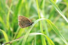 Fjäril på gräset Arkivbild