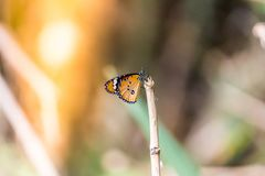 Fjäril på gräsfält med varmt ljus arkivbild