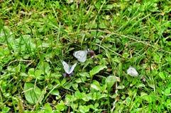 Fjäril på grönt gräs Arkivbilder