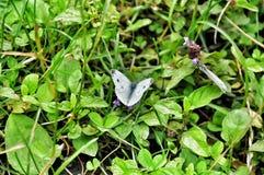 Fjäril på grönt gräs Arkivfoto