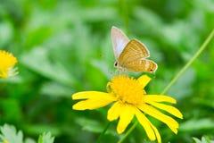 Fjäril på gul tusensköna Arkivbild