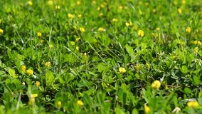 Fjäril på gult blommafält lager videofilmer