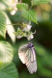 Fjäril på hallonblomman Arkivbild