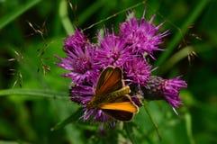 Fjäril på kanten av en härlig purpurfärgad tistelblomma royaltyfria foton