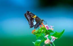 Fjäril på Lantana` s Fotografering för Bildbyråer