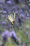 Fjäril på lavendel Arkivfoton