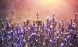 Fjäril på lavendel med pastellfärger Arkivfoton