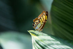 Fjäril på leafen royaltyfri foto