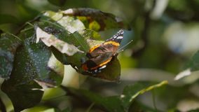 Fjäril på Leaves stock video