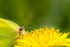 Fjäril på maskrosen Arkivfoto