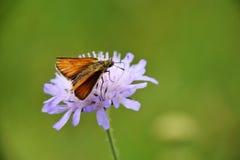 Fjäril på purpurfärgad vildblomma Arkivbilder