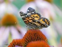 Fjäril på purpurfärgade Coneflower - Echinacea fotografering för bildbyråer