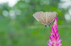 Fjäril på rosa färgblomma Royaltyfria Bilder