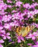 Fjäril på rosa trädgårdblommor arkivfoton