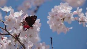 Fjäril på Sakura blommor stock video