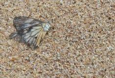 Fjäril på sand Royaltyfria Bilder