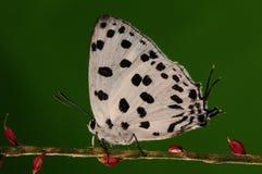 Fjäril på svart fläck för blomma/för manlig/för vit Arkivbilder