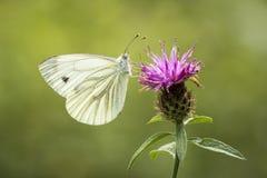 Fjäril på thistle Arkivfoton