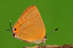 Fjäril på trädet, Rapala caerulea Arkivbilder