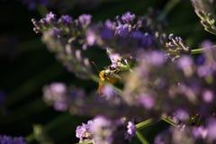 Fjäril på Violet Lavender Flowers arkivbild